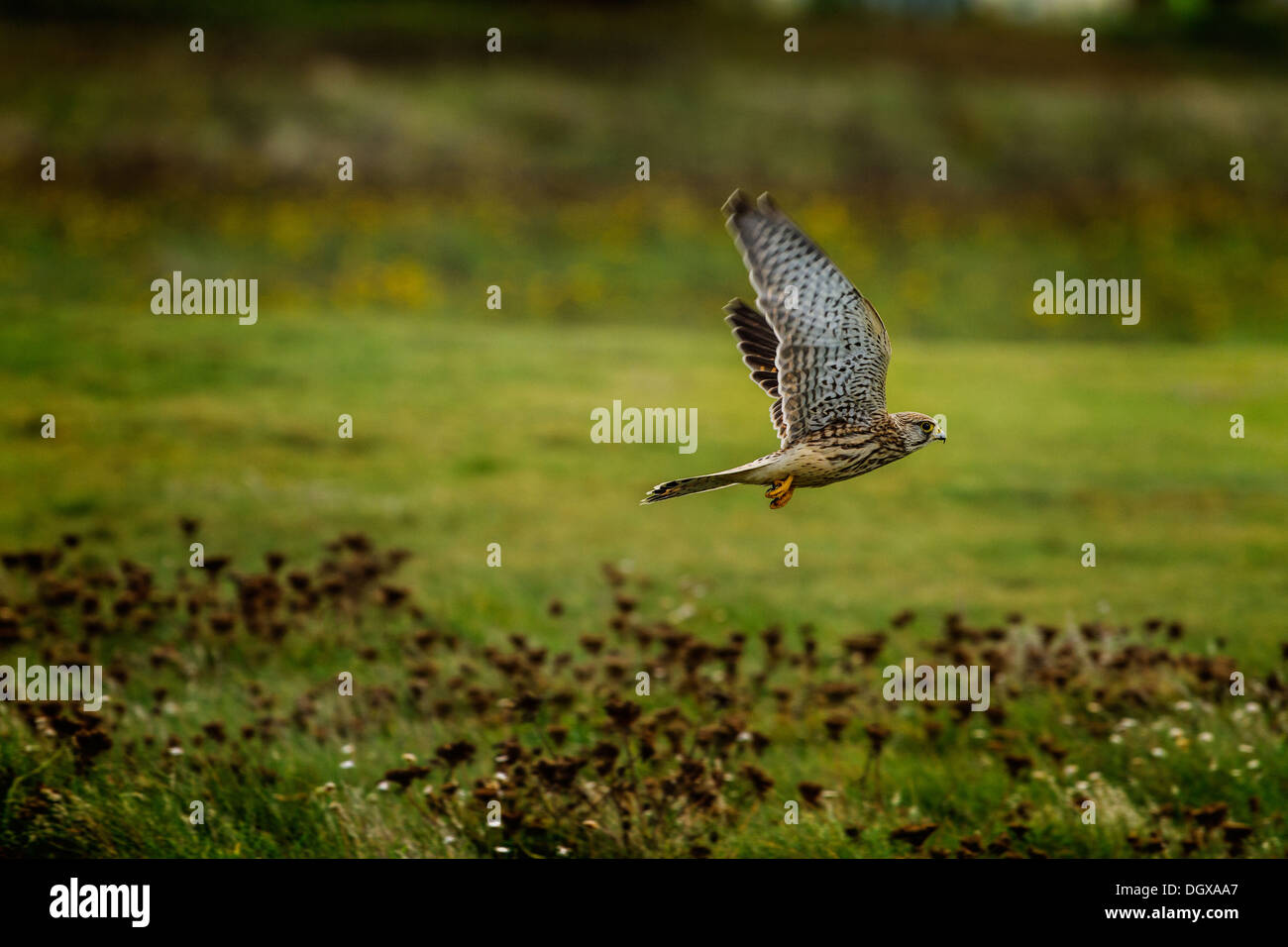 Cornish Kestrel - Stock Image