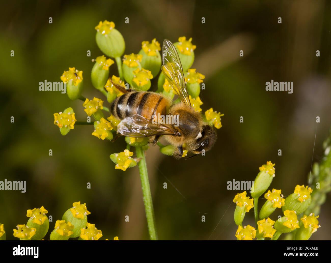 Honey Bee, Apis mellifera nectaring on Wild Parsnip. - Stock Image