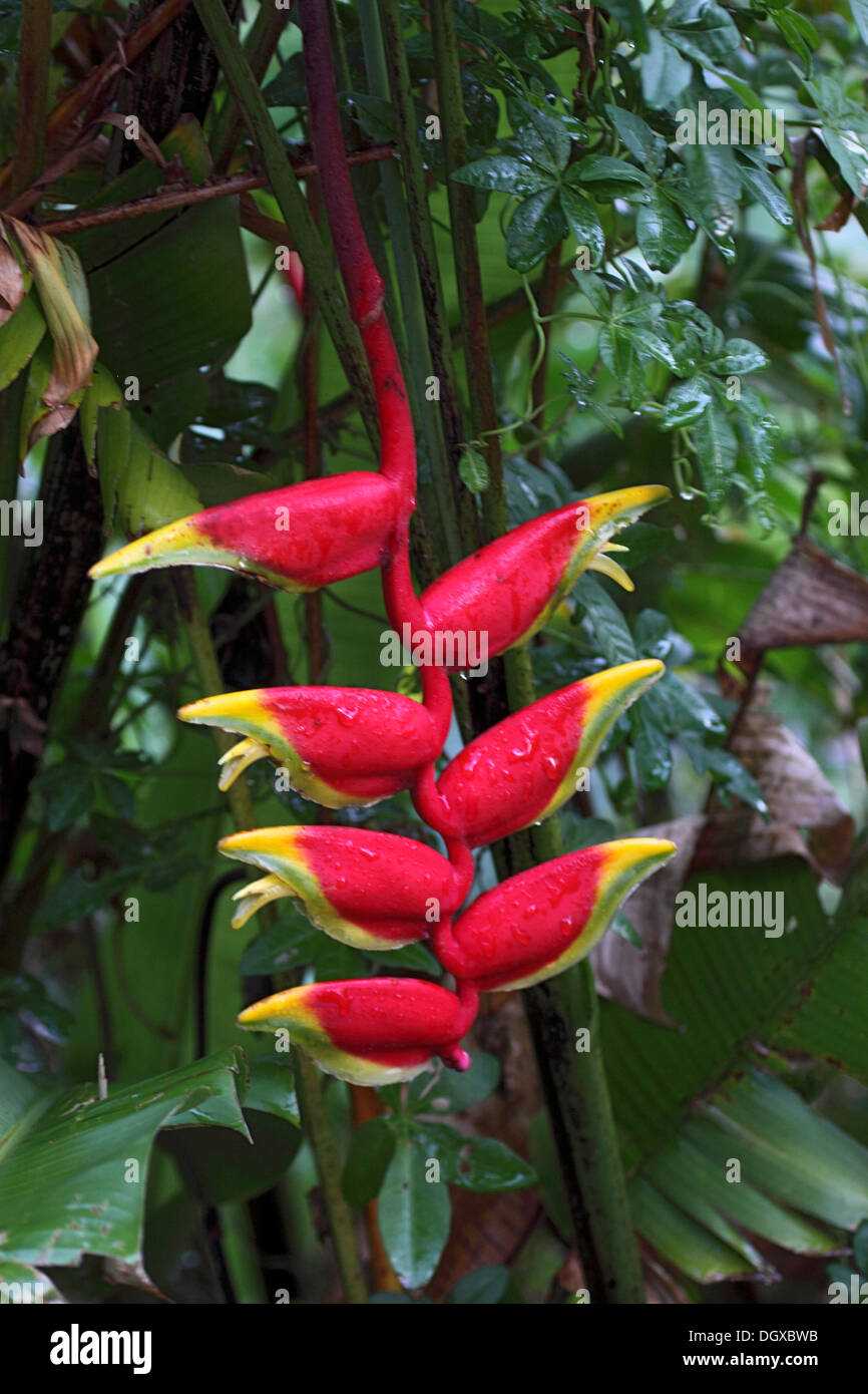 Hanging heliconia or Lobster claw plant in The Seychelles - Stock Image