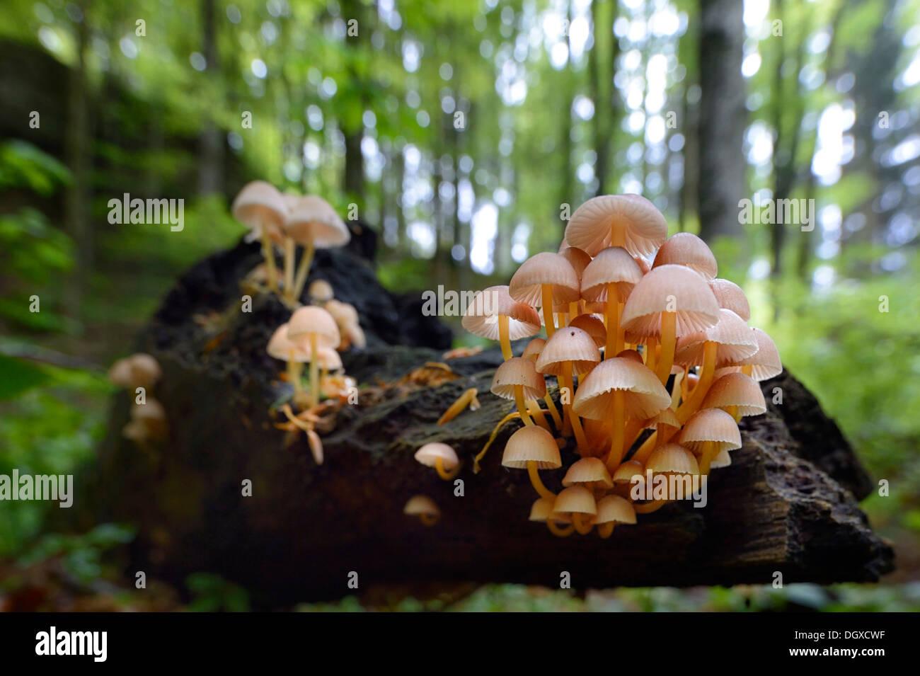 Clustered Bonnet or Oak-stump Bonnet Cap (Mycena inclinata), fruiting bodies on a tree trunk in a beech forest, Obergünzburg - Stock Image