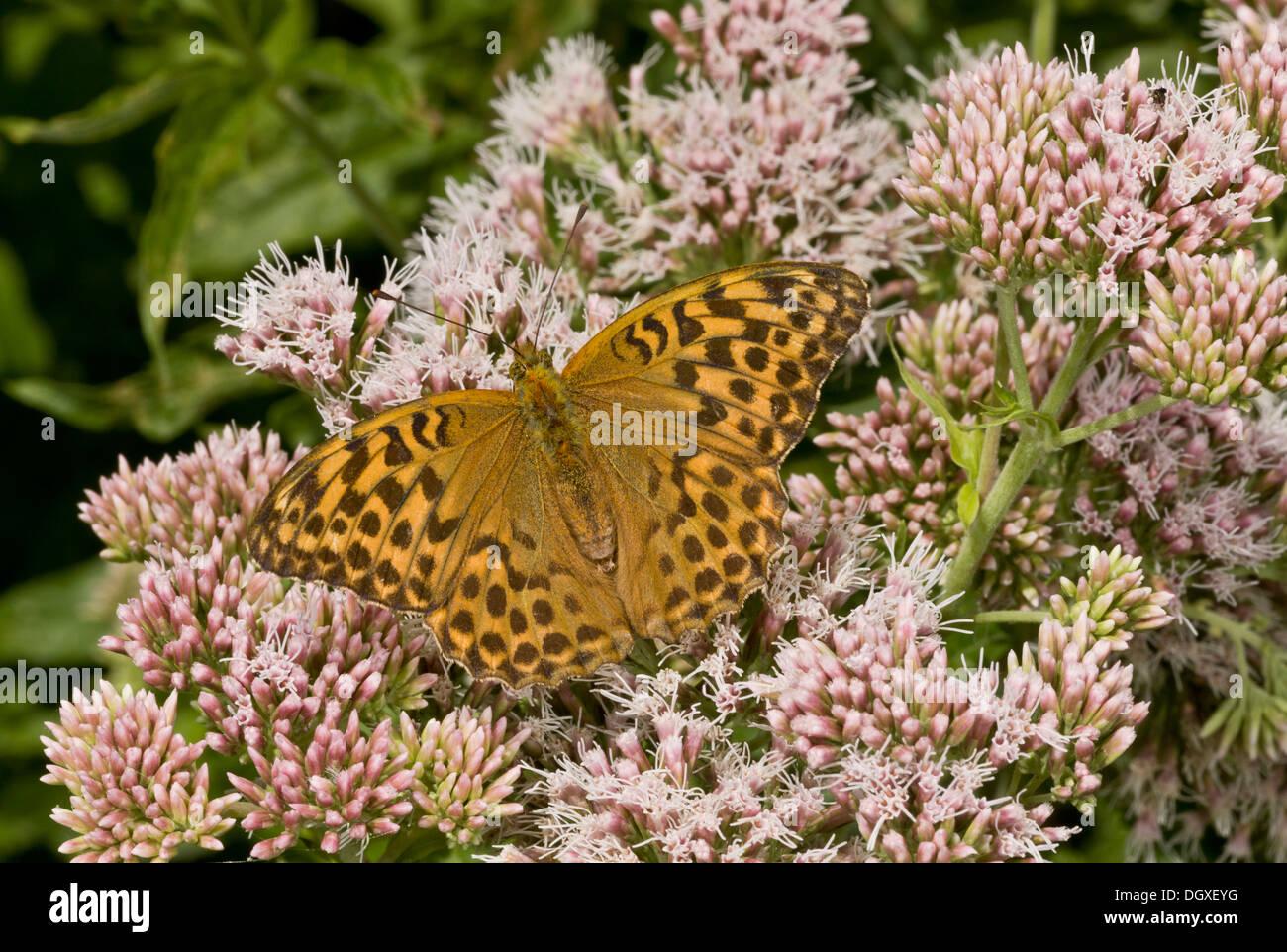Female Silver-washed fritillary butterfly, Argynnis paphia, feeding on Hemp Agrimony, Dorset. - Stock Image