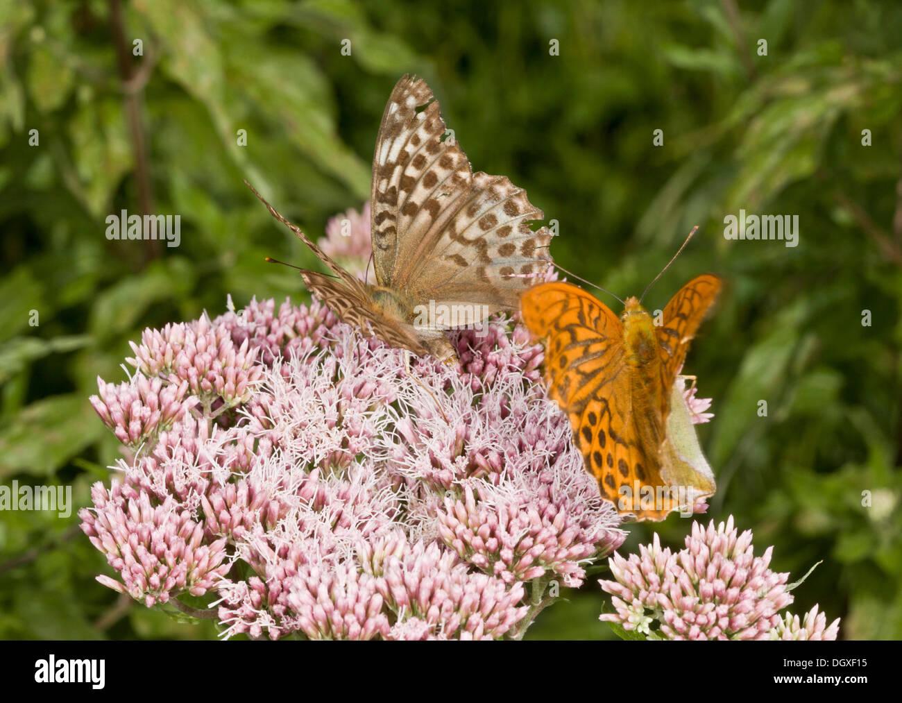 Silver-washed fritillary butterflies, Argynnis paphia, male courting valezina female on Hemp Agrimony, Dorset. - Stock Image