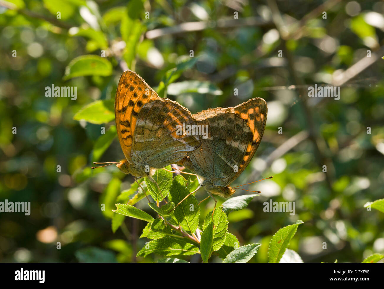 Silver-washed fritillary butterfly, Argynnis paphia, mating pair; Dorset. - Stock Image