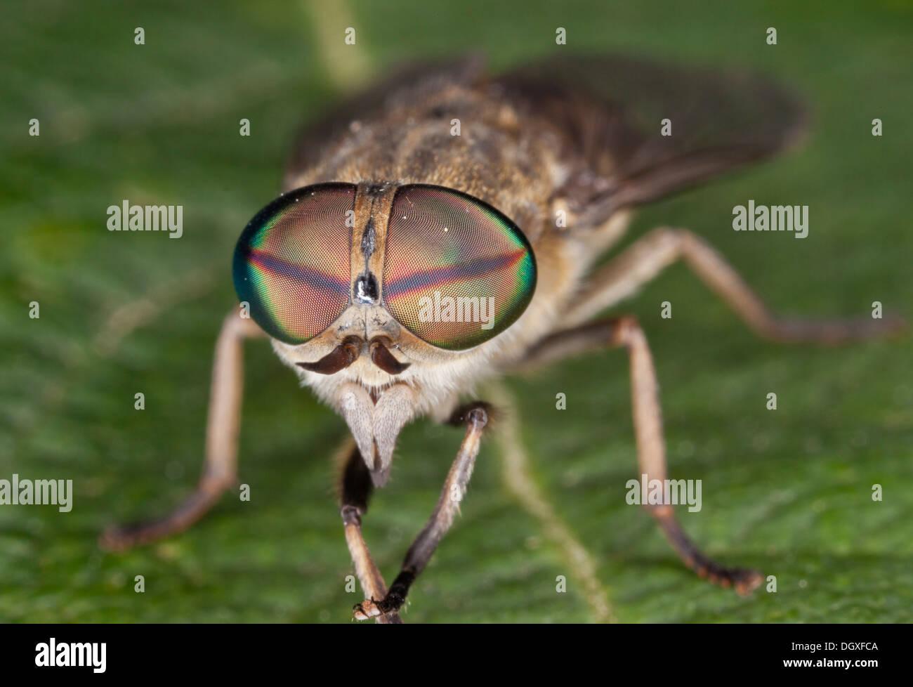 A common medium-sized horsefly, Tabanus bromius, female. Close up of compound eyes, showing single reddish bar. - Stock Image