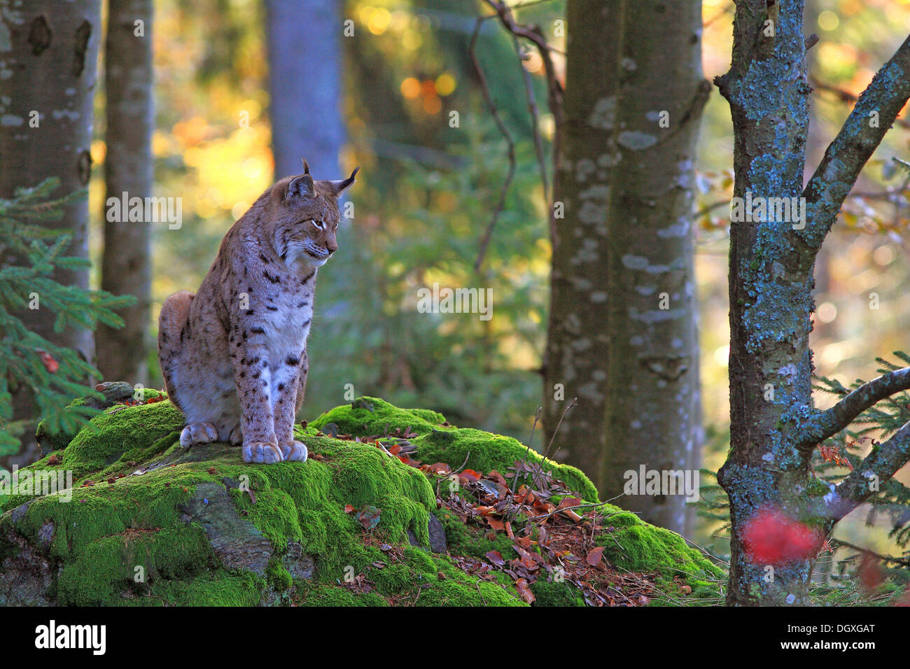 Eurasian Lynx or Northern Lynx (Lynx lynx) seated on a rock, enclosure area, Bavarian Forest National Park, Bavaria - Stock Image