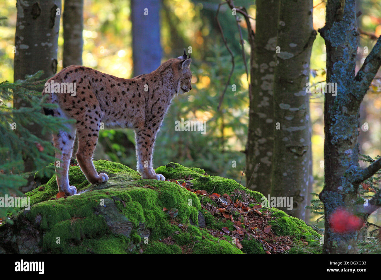 Eurasian Lynx or Northern Lynx (Lynx lynx) standing on a rock, enclosure area, Bavarian Forest National Park, Bavaria - Stock Image