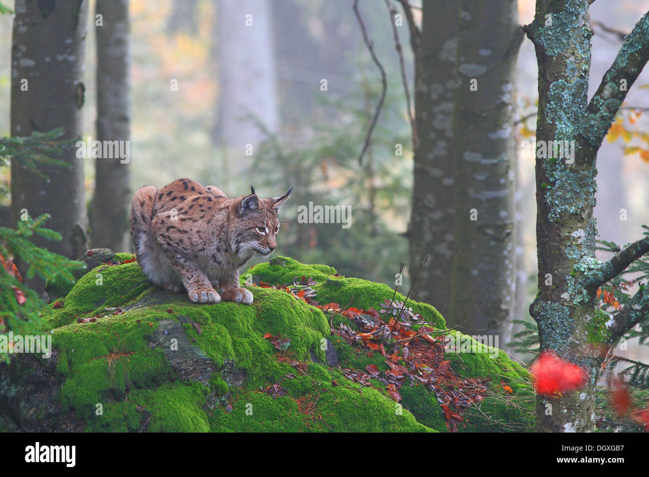 Eurasian Lynx or Northern Lynx (Lynx lynx) crouched on a rock, enclosure area, Bavarian Forest National Park, Bavaria - Stock Image