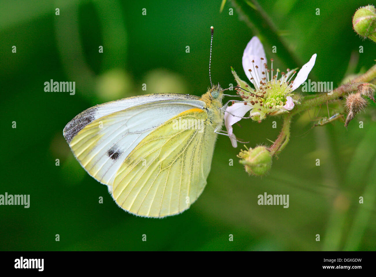 Green-veined white (Pieris napi) - Stock Image
