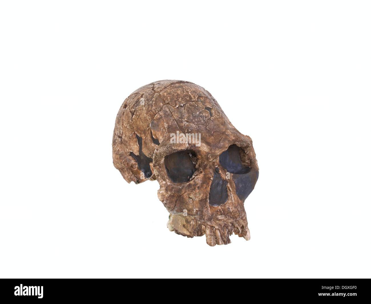 Replica skull of Homo habilis, evolution of human species - Stock Image
