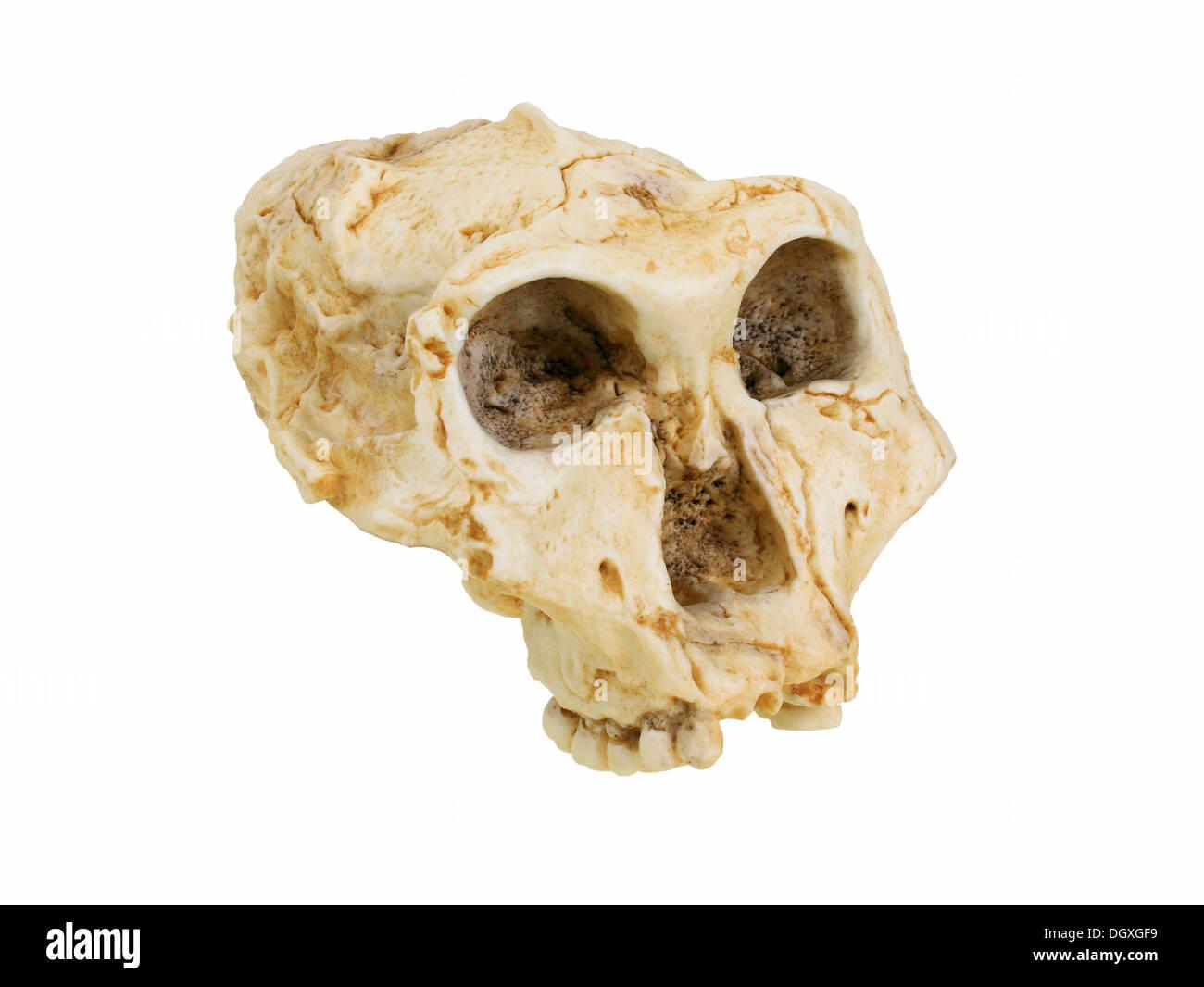 Replica skull of Paranthropus robustus, evolution of human species - Stock Image