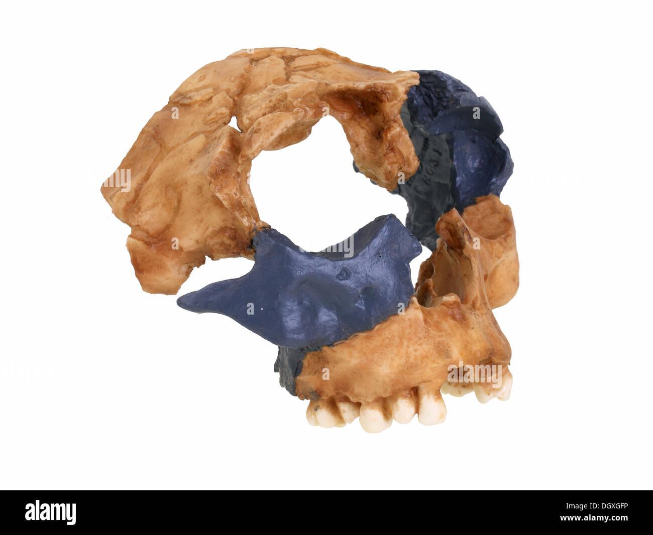 Replica skull of Homo antecessor, evolution of human species - Stock Image