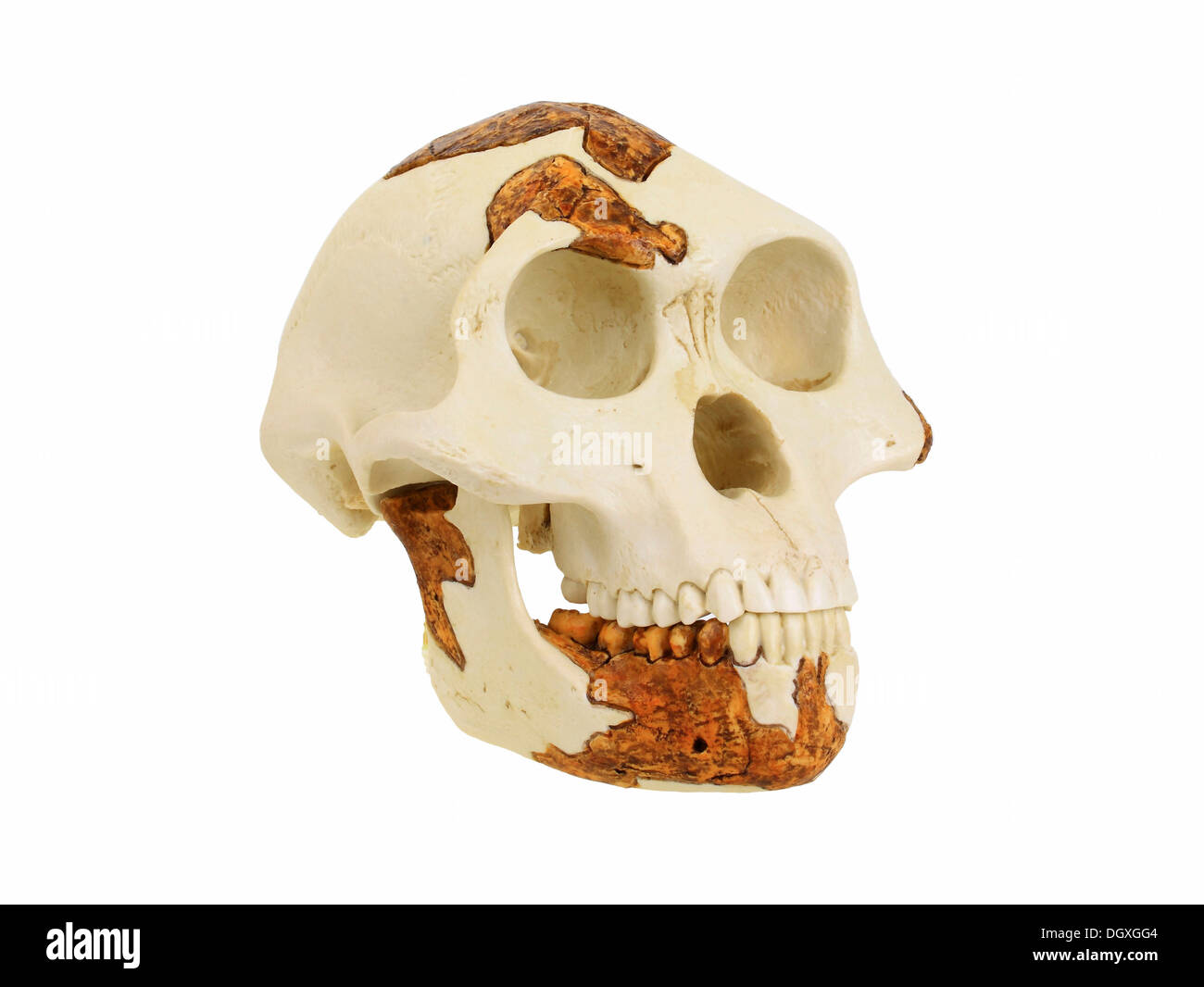 Replica skull of Australopithecus afarensis, Lucy, evolution of human species - Stock Image