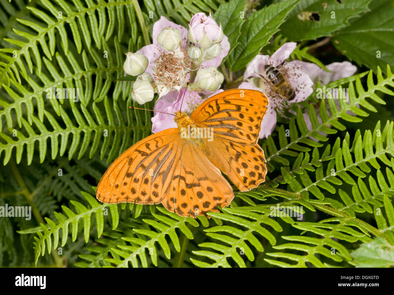 Silver-washed Fritillary butterfly, Argynnis paphia feeding on bramble flowers. - Stock Image