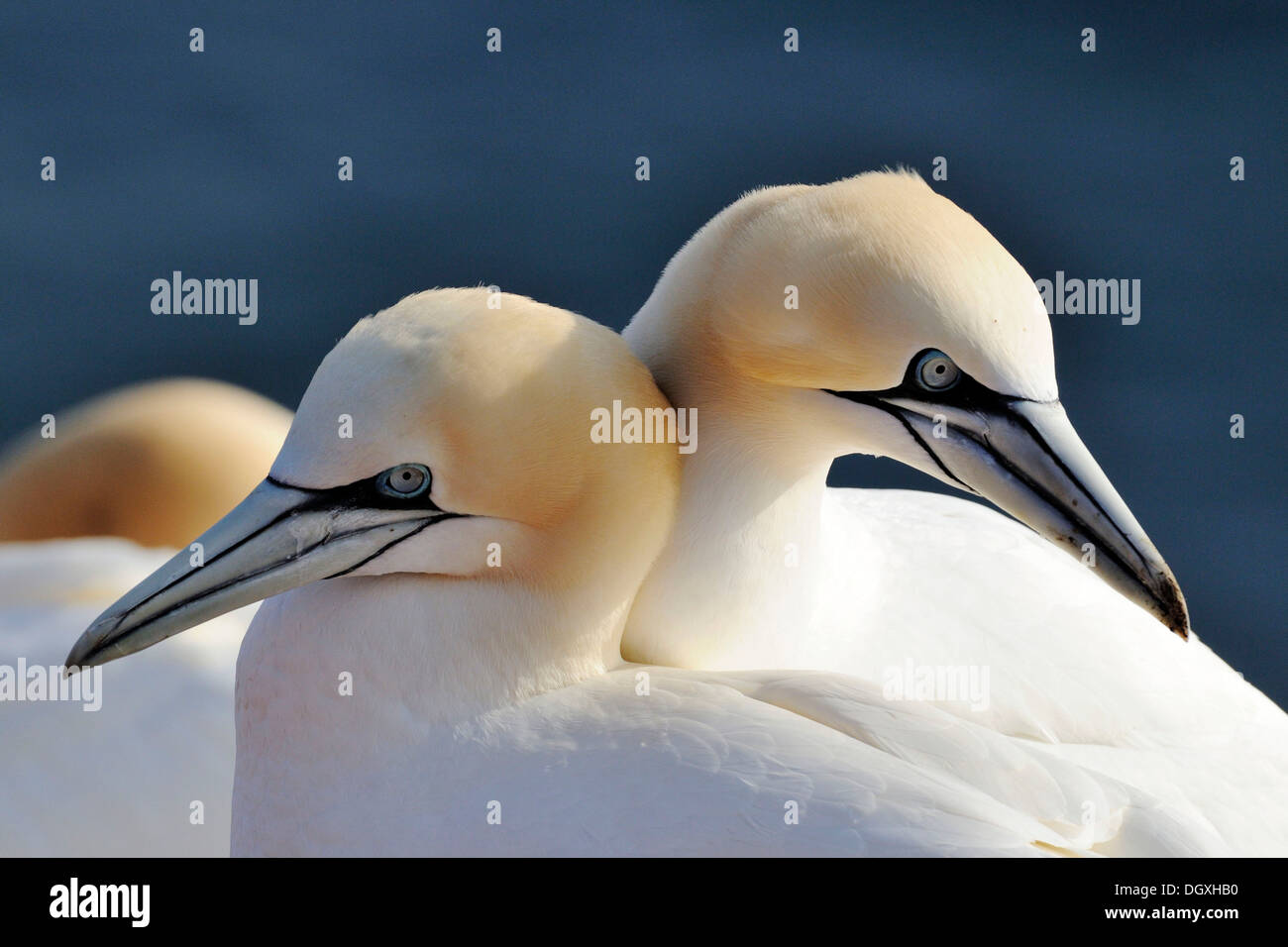 Northern Gannets (Morus bassanus, Sula bassana), in spring, mating season, ocean island, Helgoland, Schleswig-Holstein - Stock Image
