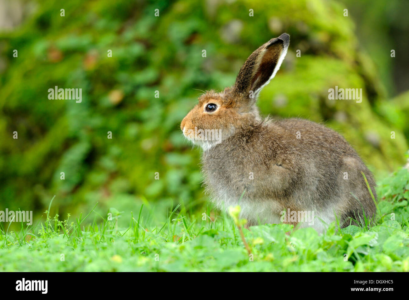Mountain Hare (Lepus timidus varronis), in summer pelage - Stock Image