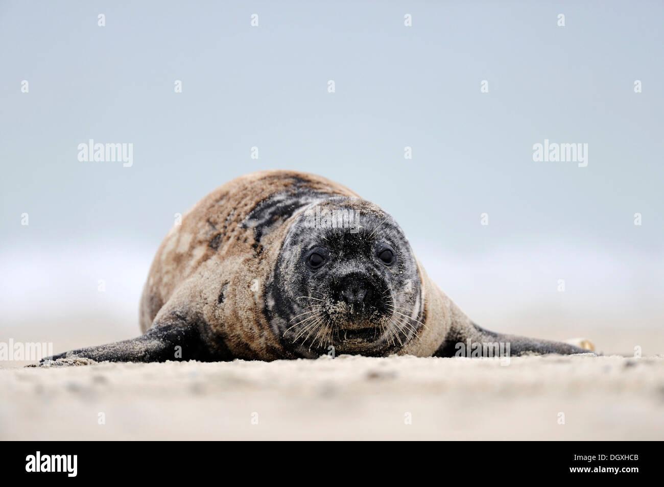 Gray seal (Halichoerus grypus), lying on a sand bank, ocean island, Helgoland, Schleswig-Holstein, Europe Stock Photo