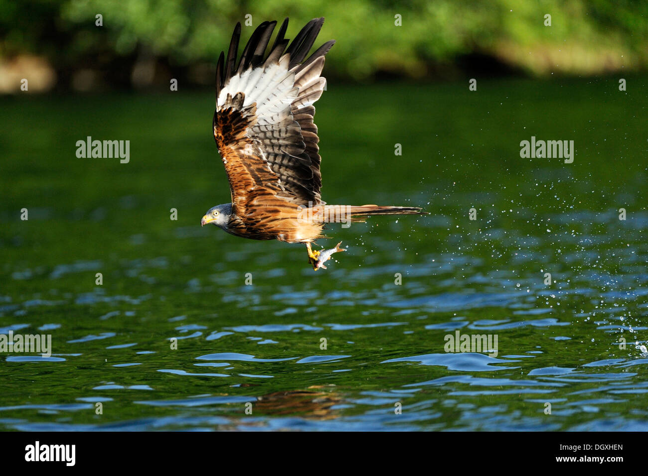 Red Kite (Milvus milvus), holding fish in its talons, Schmaler Luzin lake, Feldberg, Mecklenburg-Western Pomerania - Stock Image