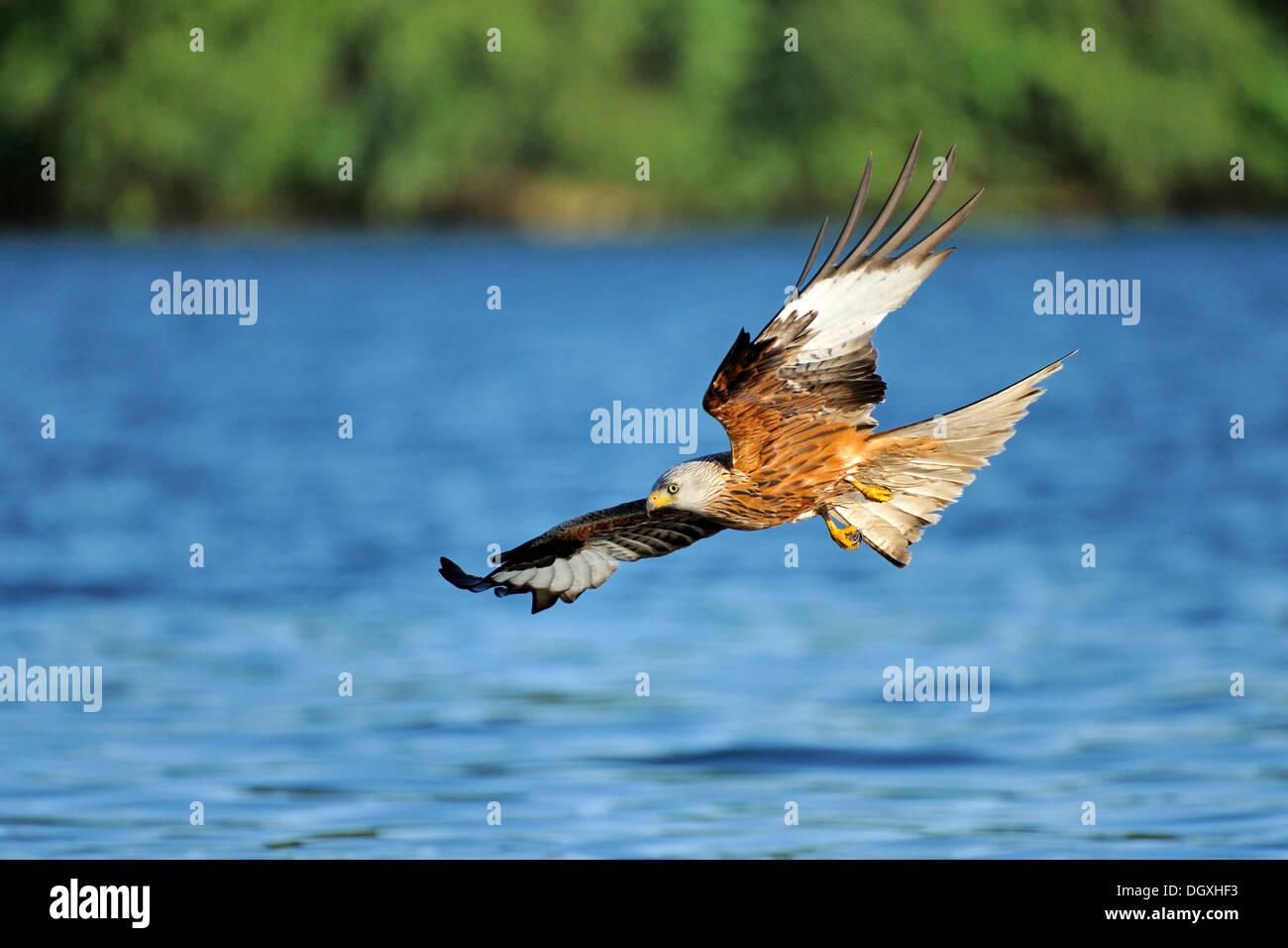 Red Kite (Milvus milvus), during approach, Schmaler Luzin lake, Feldberg, Mecklenburg-Western Pomerania - Stock Image