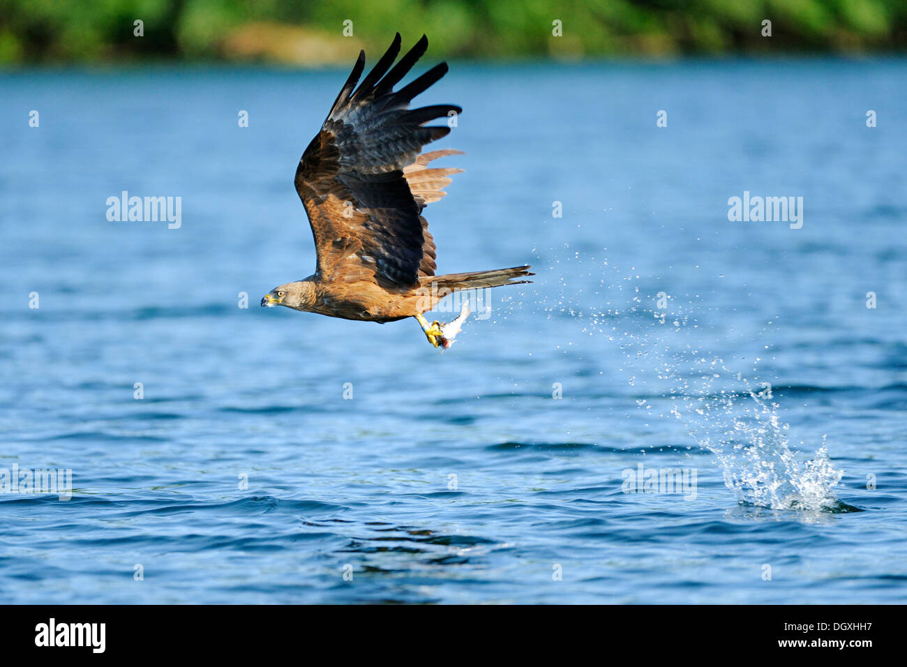 Black Kite (Milvus migrans), with fish in its talons, Schmaler Luzin lake, Feldberg, Mecklenburg-Western Pomerania - Stock Image