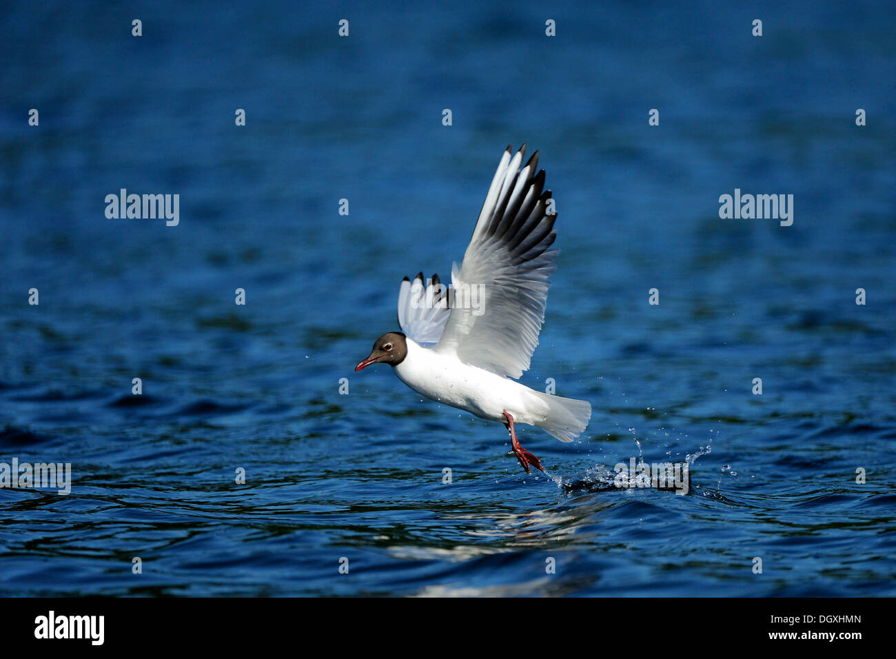 Black-headed Gull (Chroicocephalus ridibundus, Syn. Larus ridibundus), during take-off, Schmaler Luzin lake, Feldberg - Stock Image