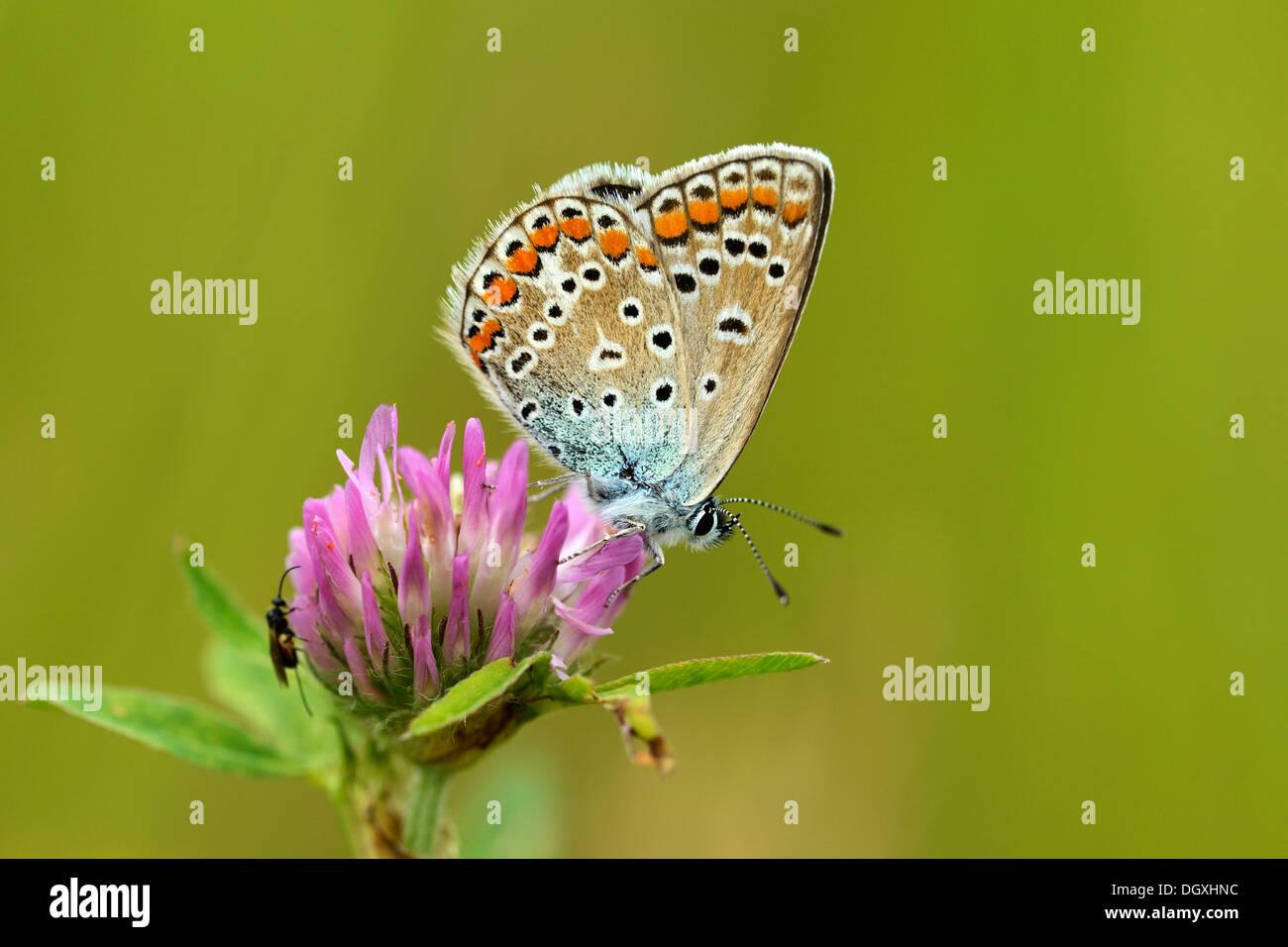 Common Blue (Polyommatus icarus), Zug, Switzerland, Europe - Stock Image