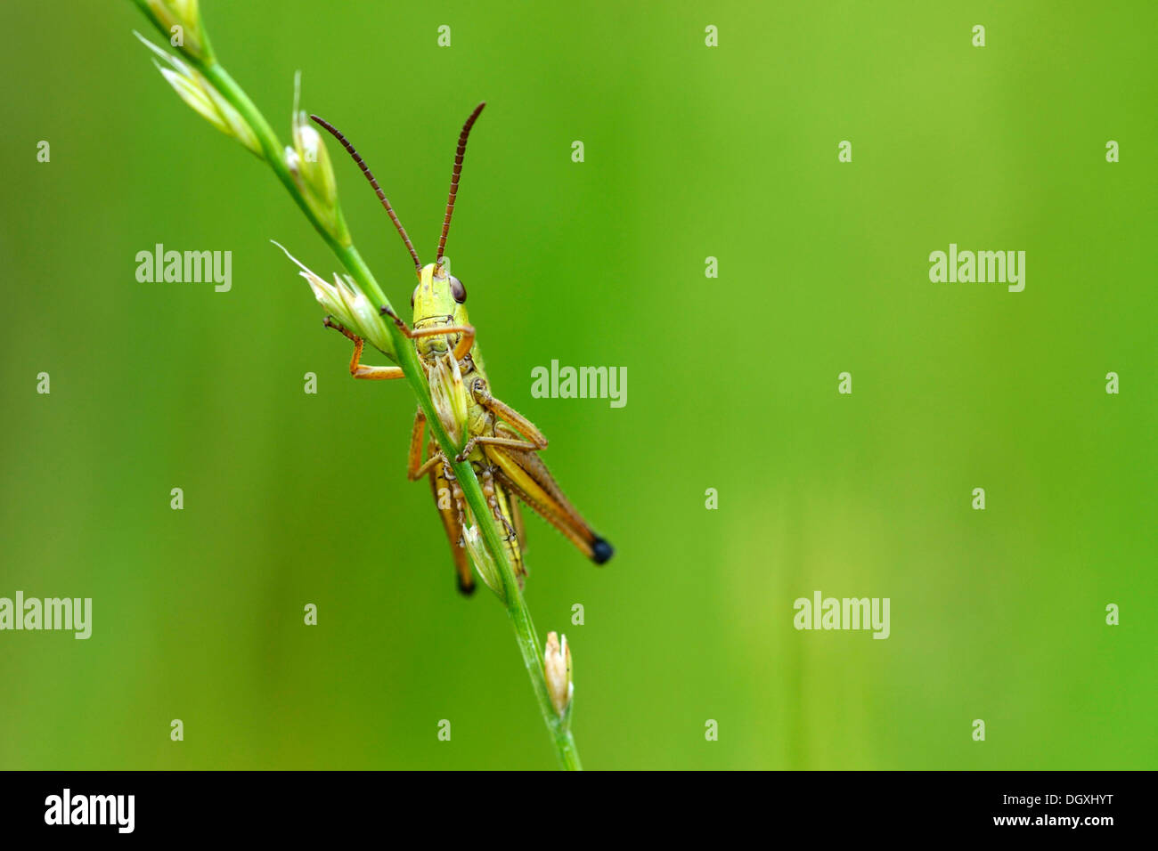 Green Grashopper (Mecostethus parapleurus), on blade of grass, Menzingen, Switzerland, Europe - Stock Image