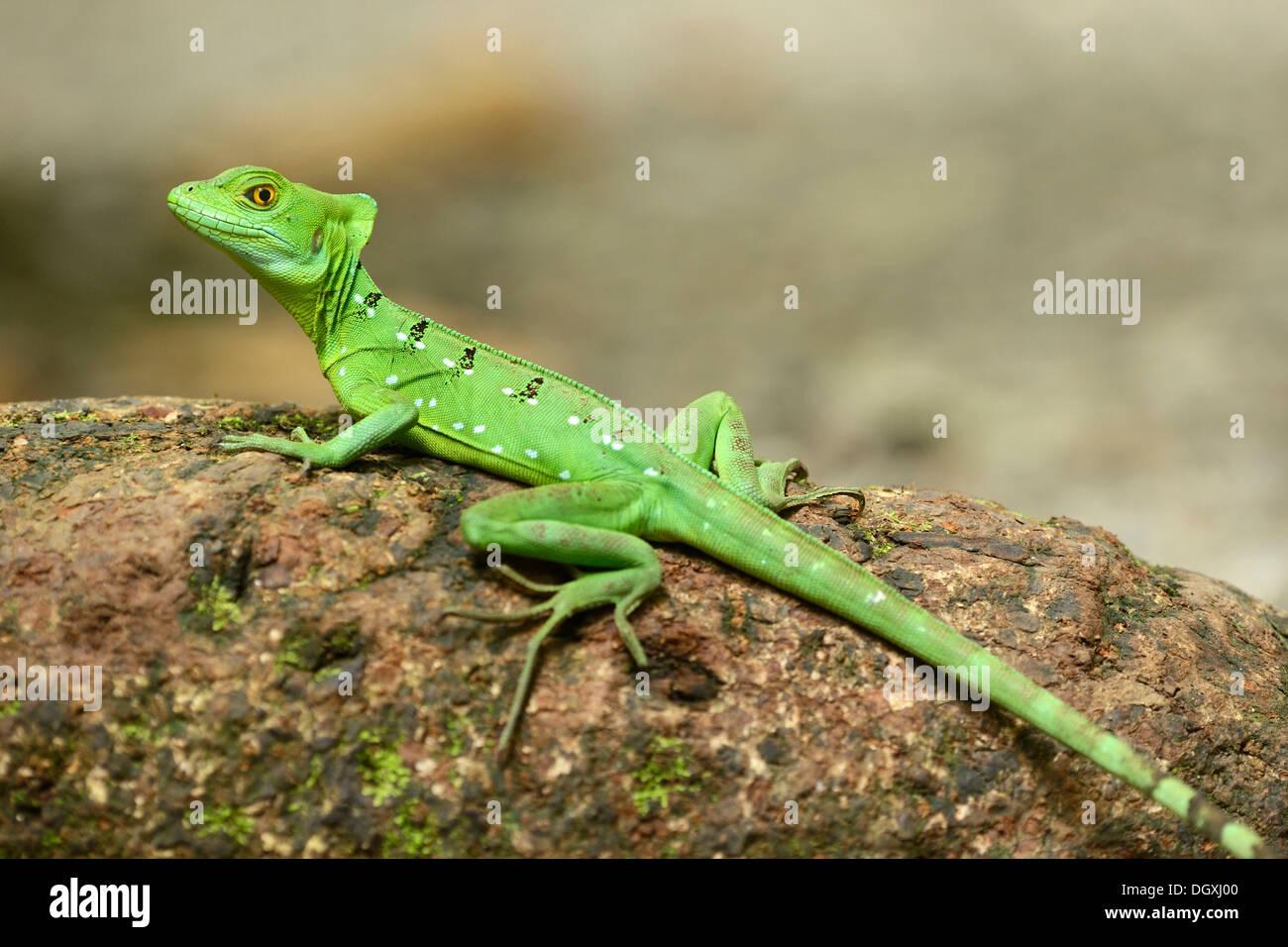 Plumed basilisk, Green basilisk, Double crested basilisk or Jesus Christ lizard (Basiliscus plumifrons), female, Stock Photo