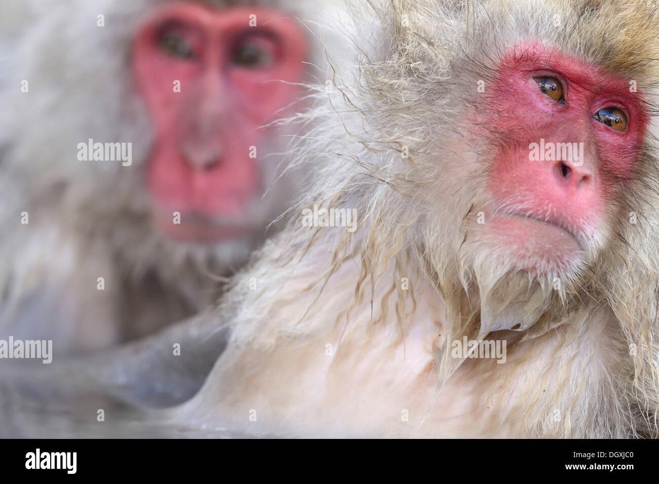 Japanese Macaques or Snow Monkeys (Macaca fuscata), portrait, Affenpark Jigokudani, Nagano Präfektur, Japan - Stock Image
