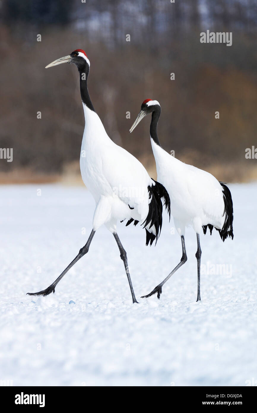 A pair of Red-crowned Cranes, Japanese Cranes or Manchurian Cranes (Grus Japonensis) walking in unison during courtship - Stock Image