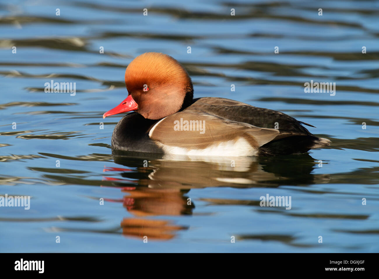 Red-crested Pochard (Netta rufina), drake in breeding plumage, swimming, Luzern, Luzern, Canton of Lucerne, Switzerland - Stock Image