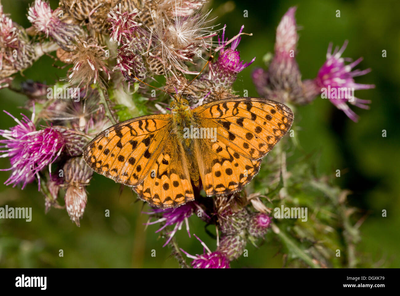 Dark Green Fritillary, Argynnis aglaja settled on Marsh Thistle. - Stock Image