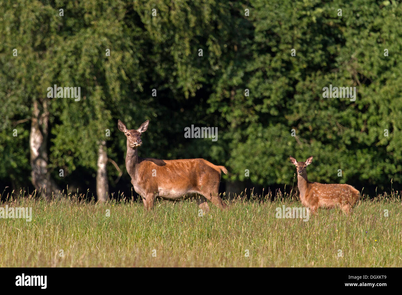 Red deer with young animal / Cervus elaphus Stock Photo