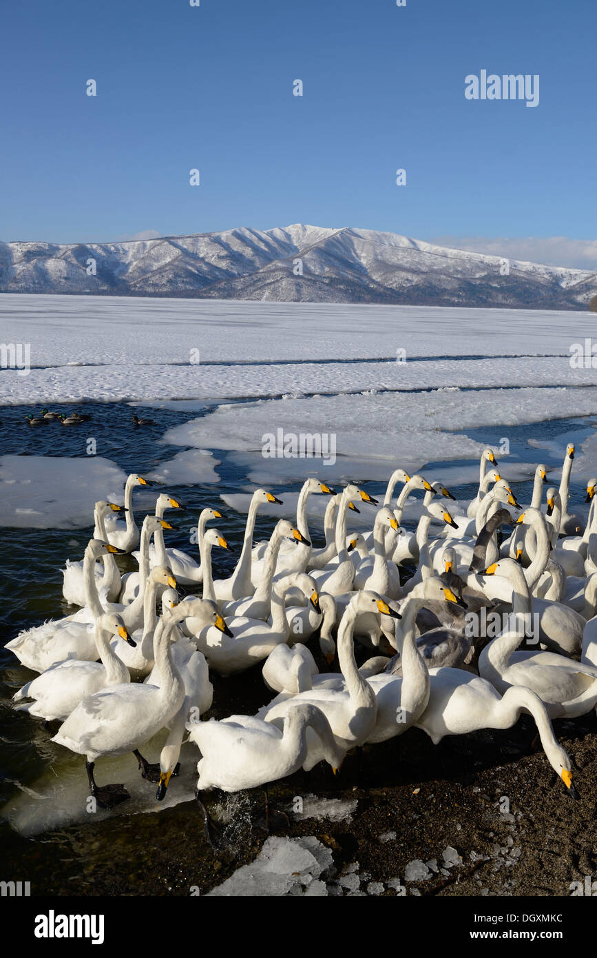 A flock of whooper swans (Cygnus cygnus) protecting each other from a cold wind, Kussharo Lake, Kawayu Onsen, Hokkaido, Japan - Stock Image