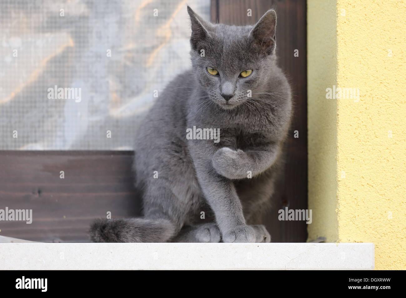 cat with attitude threatening - Stock Image