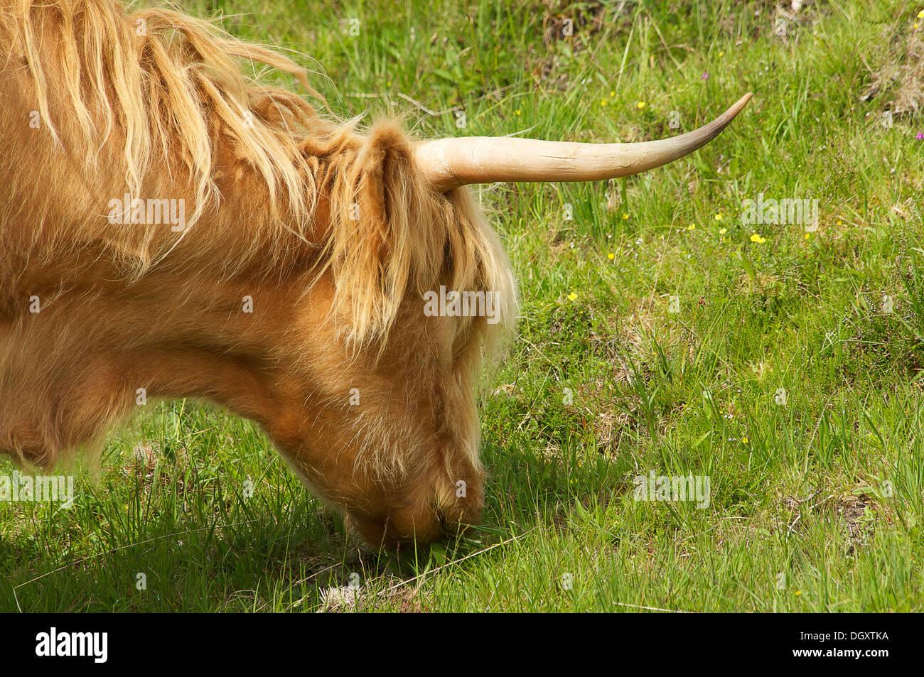 Vaca típica de Escocia - Stock Image