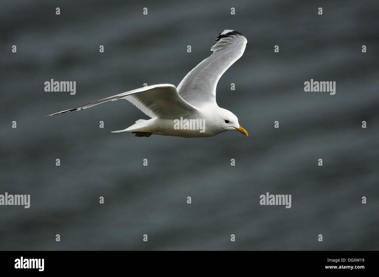 Gaviota sobrevolando los mares que rodean las penínsulas de Skye. - Stock Image