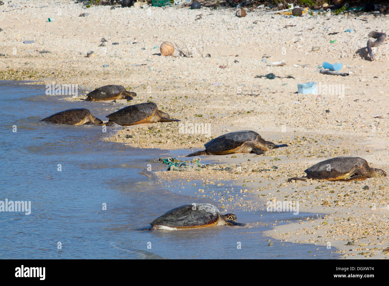 Hawaiian Green Turtles (Chelonia mydas) basking on beach with plastic marine debris in Papahanaumokuakea Marine Stock Photo