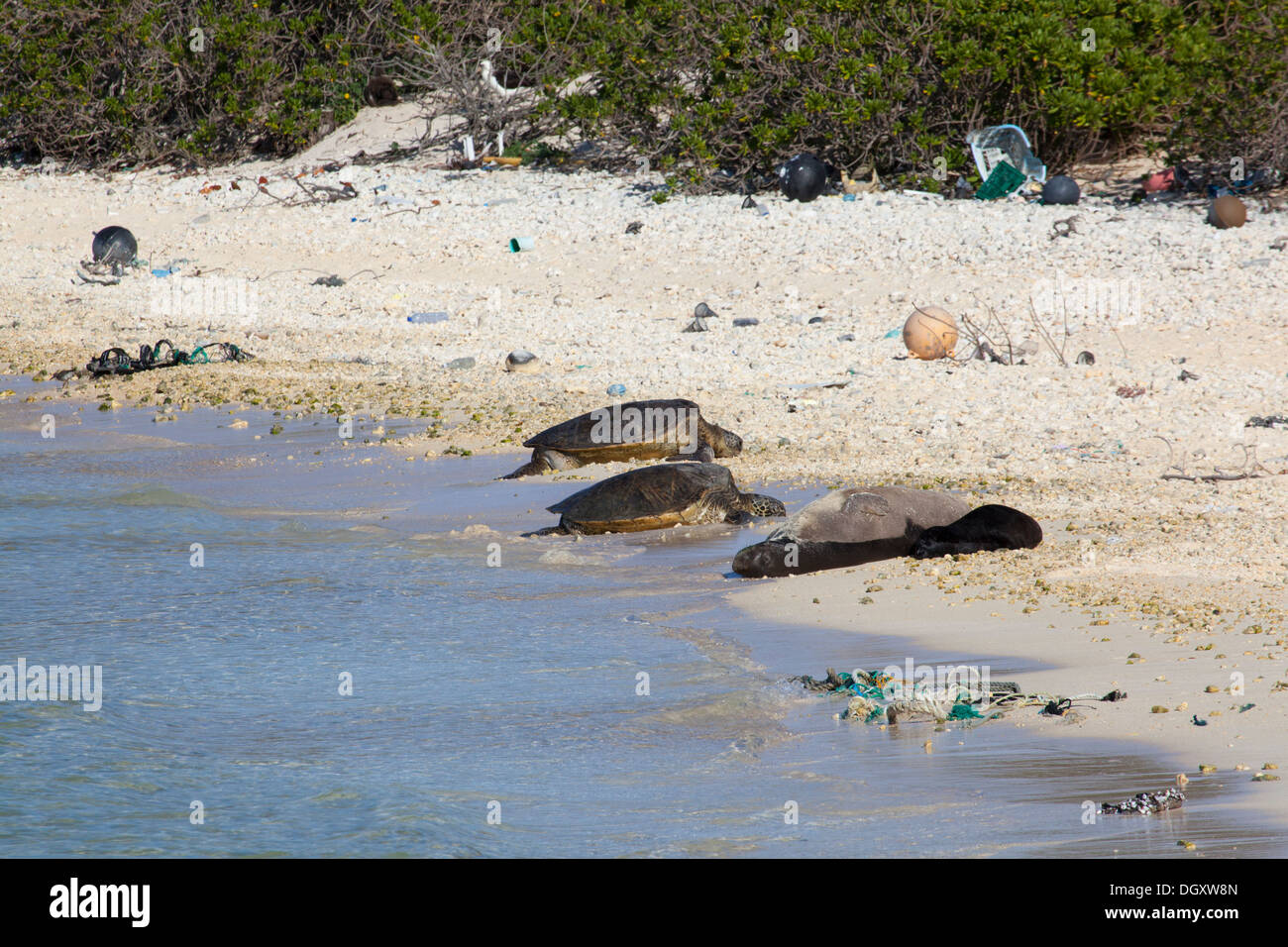 Hawaiian Monk Seal (Neomonachus schauinslandi) mother, baby and Sea Turtles (Chelonia mydas) bask on North Pacific island beach with marine debris - Stock Image