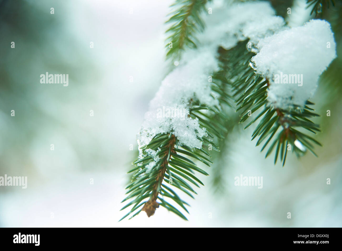 Spruce branch covered with snow - Stock Image