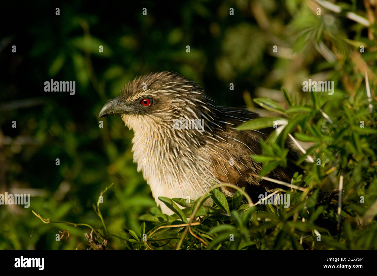 White-browed Coucal in bush (Centropus superciliosus) - Stock Image