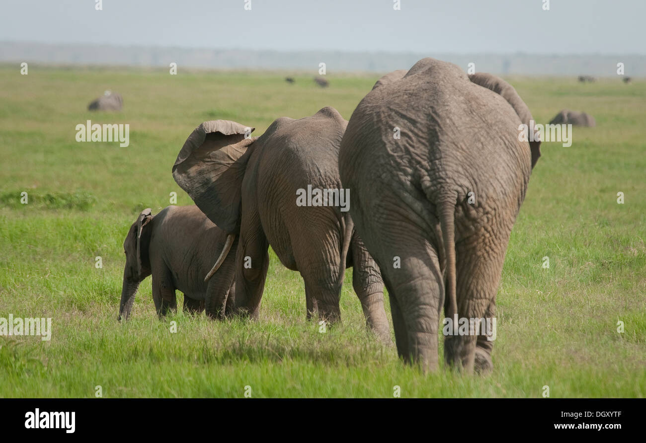 Three African elephants walking-from rear - Stock Image