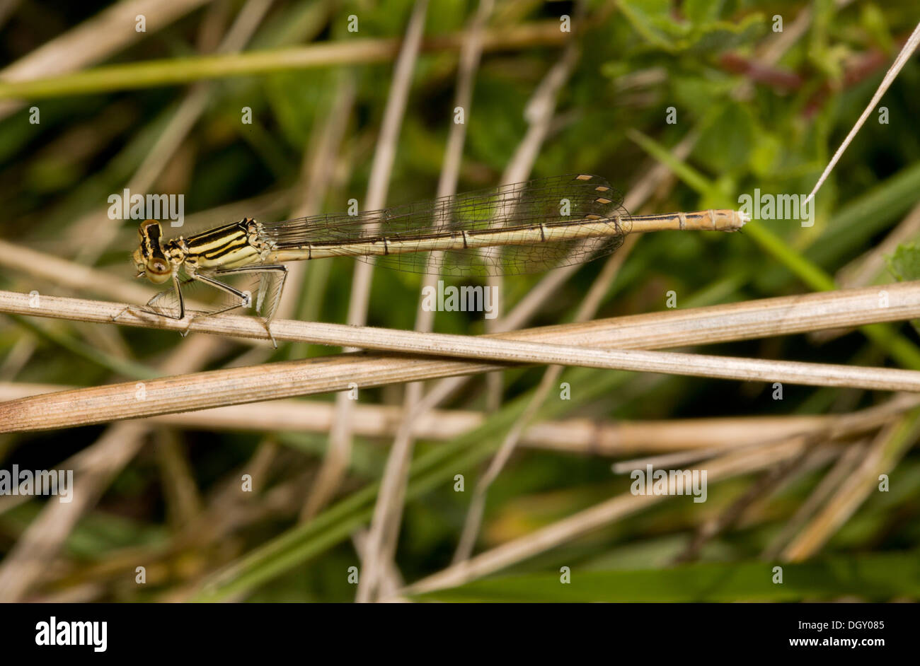 Female Common Winter Damselfly, Sympecma fusca, perched on grass. Brenne, France. - Stock Image