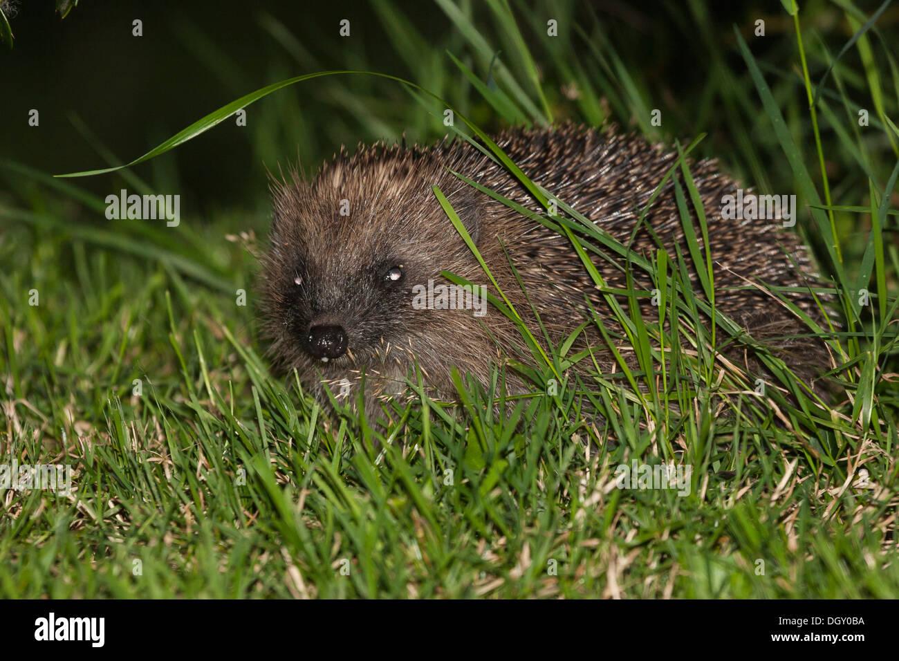 eurpoean hedgehog at night - Stock Image