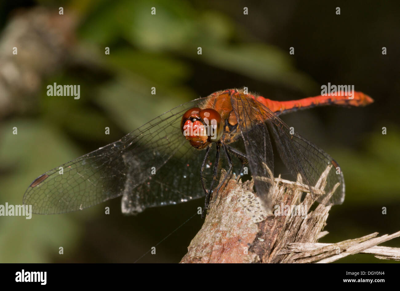 Ruddy darter dragonflies, Sympetrum sanguineum - perched male. - Stock Image