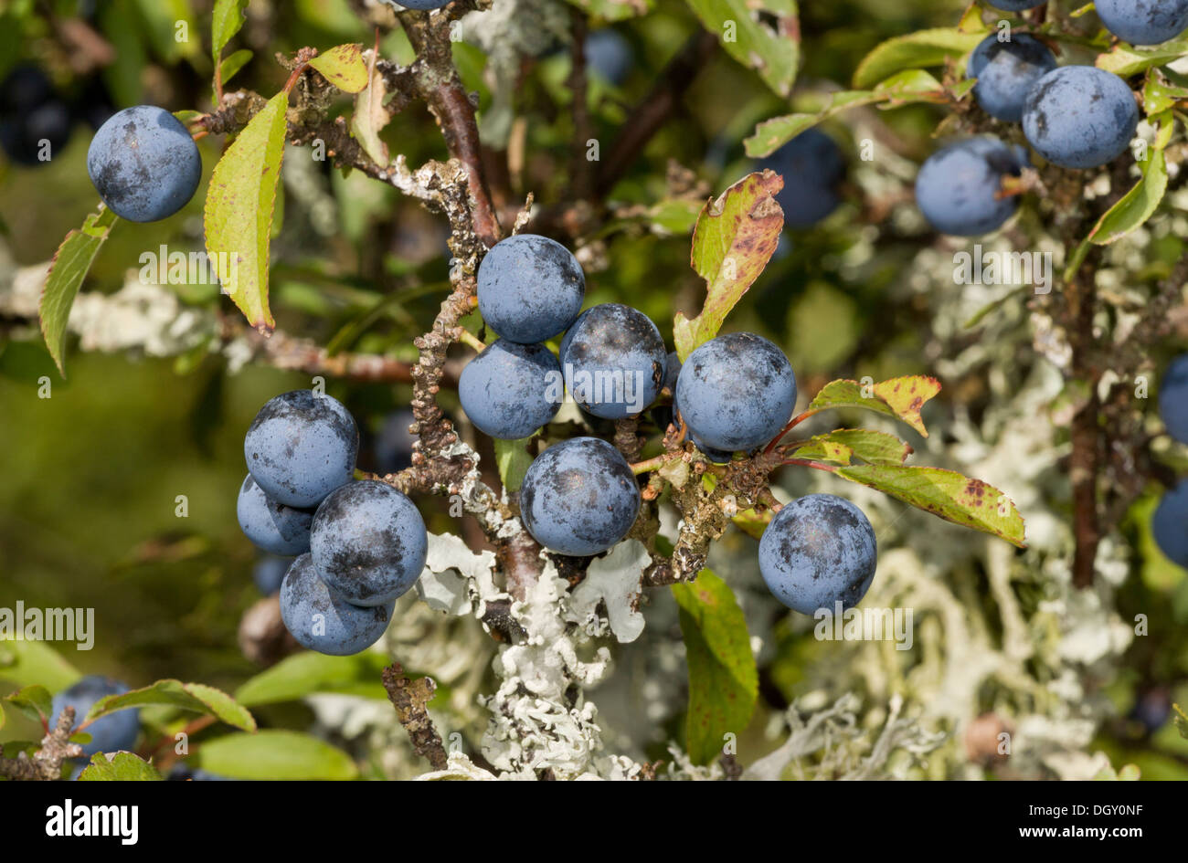 Prunus spinosa 20 seeds Sloe Blackthorn