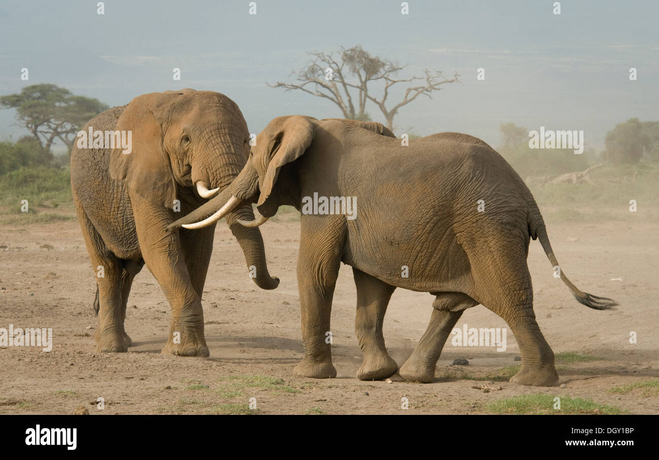 Two bull African elephants in plains, sparring - Stock Image
