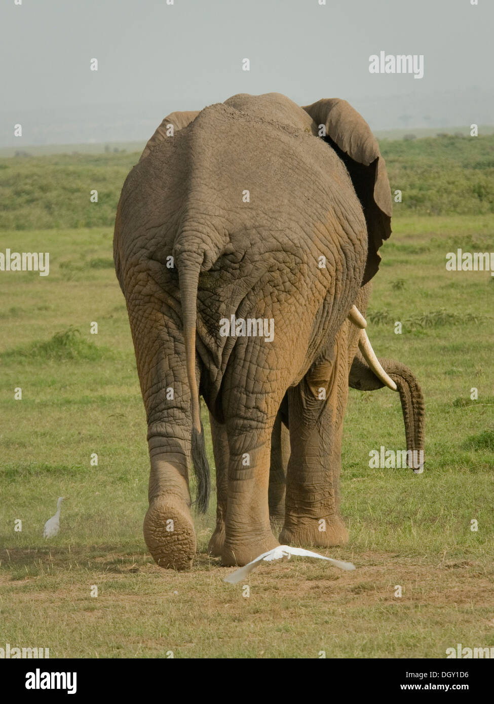 African bull elephant walking in plains, from rear,  Carrying trunk over tusk - Stock Image