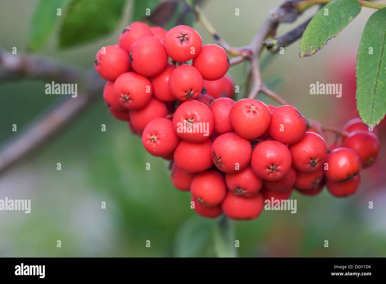 Sorbus aucuparia. Red berries on a Rowan tree. Stock Photo