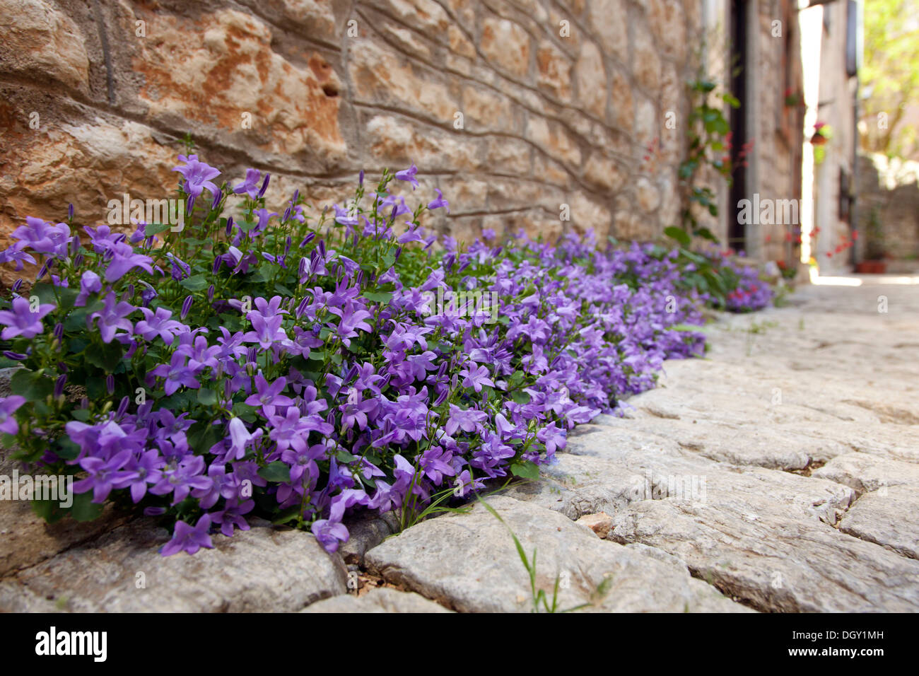 Forget-me-not (Myosotis), growing in an alley of the medieval town of Bale, Valle, Istria, Croatia, Europe, Bale, Stock Photo
