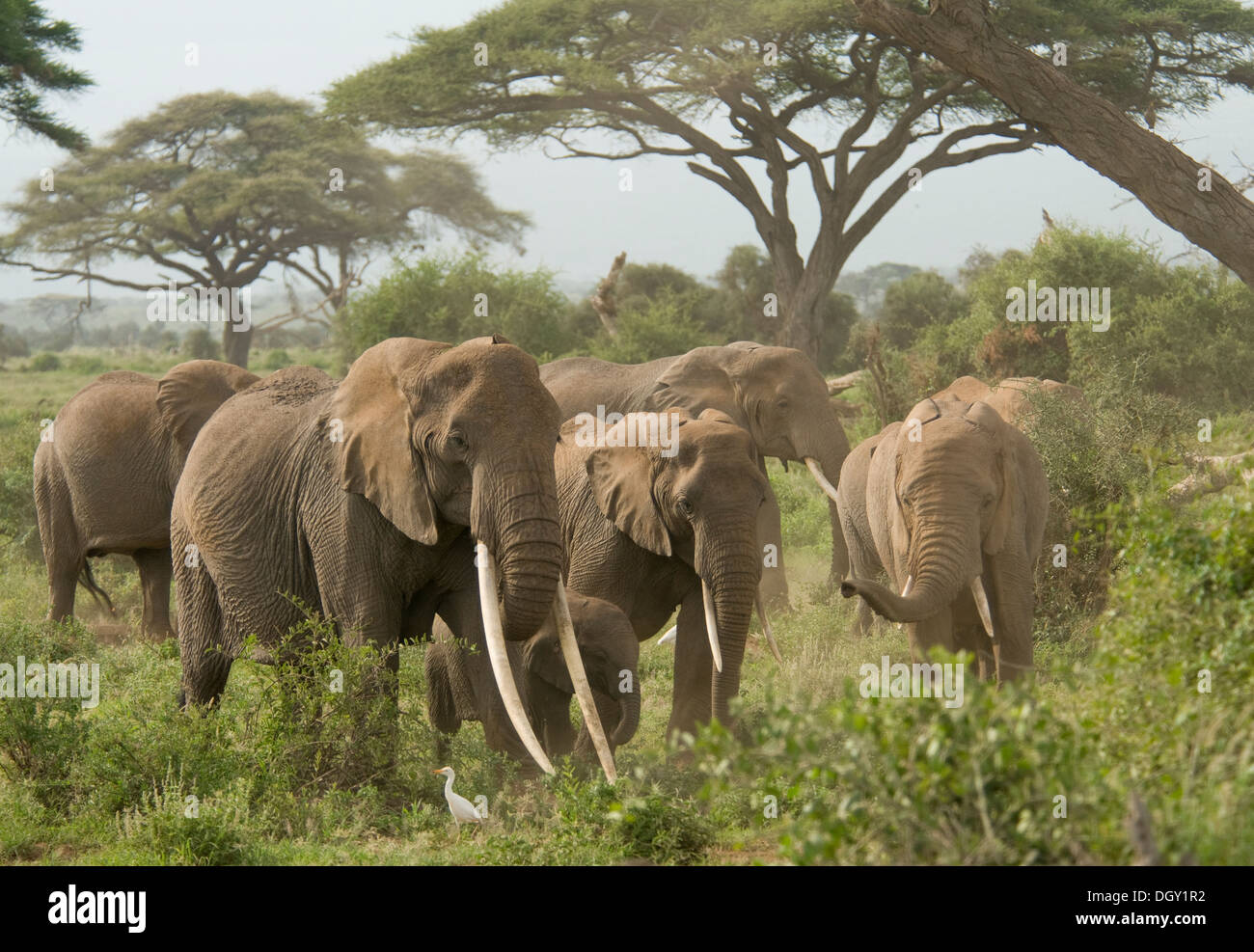 Elephant matriarch with herd - Stock Image